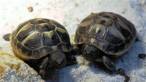 alimentazione tartarughe di terra piccole tartarughe di terra neonate