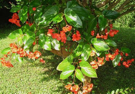 Begonia Planters by Plants Flowers 187 Scarlet Begonia