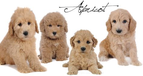 goldendoodle puppy colors goldendoodle color varieties teddybear goldendoodles