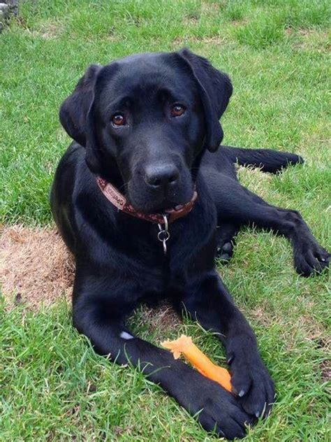 how much are lab puppies beautiful black lab his name is i that black labs such
