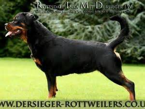 rottsdale rottweilers pedigree kc registered rottweiler puppies in ayr scotland born 13 09 12