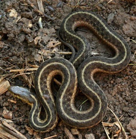 Garden Snake With Yellow Stripe The 214 Ko Box Garter Snake Brown With Yellow Stripes