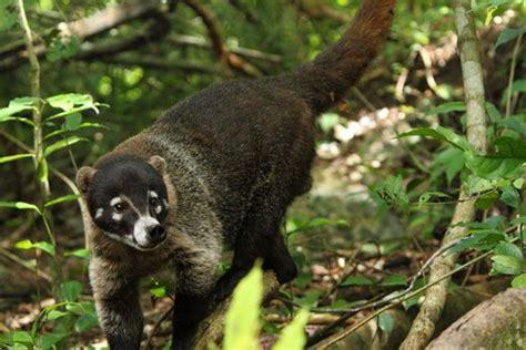 kudamundi animal what are the sizes 28 best arizona kudamundi ring tailed coati south american coati nasua nasua forages in