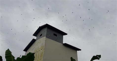 Suara Walet Kalimantan Populasi Suara Panggil Dan Menarik apakah kalau suara inap mati walet kabur burung walet