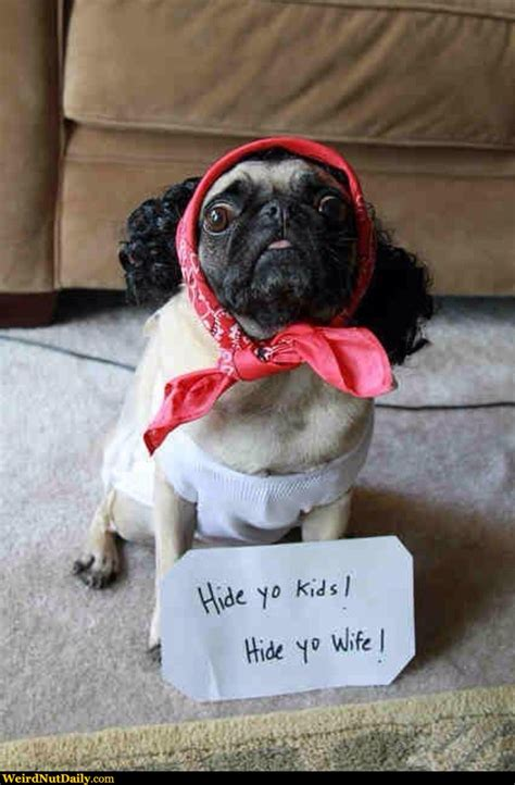 pug with wig pictures weirdnutdaily hide from the pug