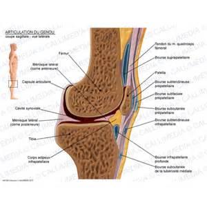 illustration m 233 dicale articulation du genou coupe