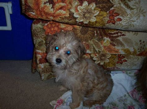 half yorkie half bichon yorkietalk photo gallery arshas half yorkie half bichon powered by photopost