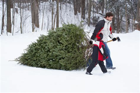guide to new england christmas tree farms new england today