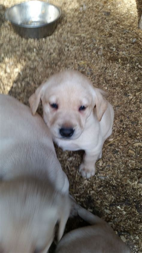 golden lab puppies for sale golden lab puppies for sale only 1 boy left newnham gloucestershire pets4homes