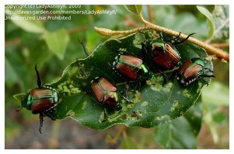bug pictures japanese beetle popillia japonica by vee8ch