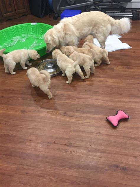 country acres puppies 8 weeks country acres golden retrievers