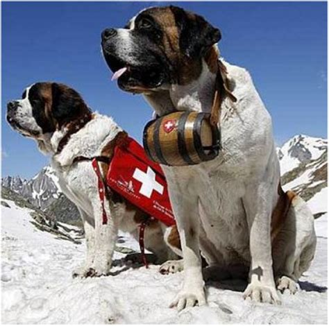 st bernard puppies rescue bernard with keg in snow breeds picture