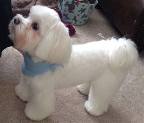 different maltese haircuts pictures maltese love this cut this is bentley maltese