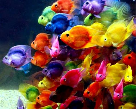 Pretty Colorful by Gold Fish Wallpaper All Fish Hd Wallpaper Beautiful Fish
