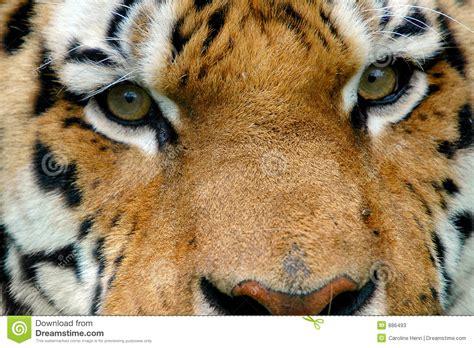 imagenes ojos de tigre ojos del tigre fotos de archivo imagen 886493