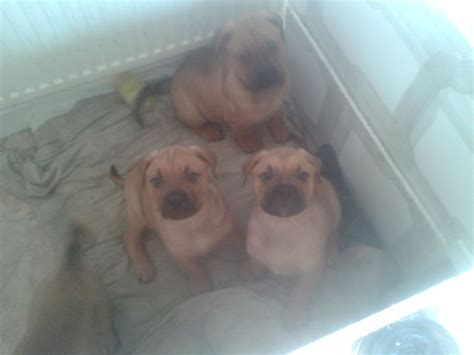 rottweiler x bullmastiff puppies for sale bullmastif rottweiler x puppies for sale chester cheshire pets4homes