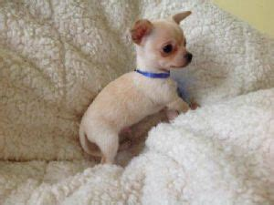 teacup puppies for sale in az chihuahua puppies for sale tiny itty bitty mini micro teacup chihuahua