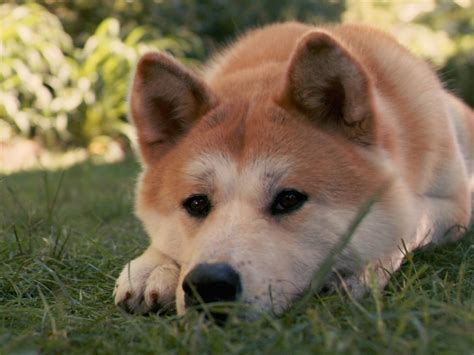 akita inu puppies lovely akita inu photo and wallpaper beautiful lovely akita inu pictures