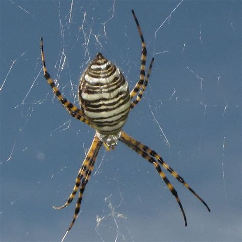 Garden Spider New Mexico New Mexico Spiders What Is That Crawling On The Back Of