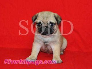 riverhill pugs riverhillpugs 169 2015 puppies available apricot black and fawn akc pug