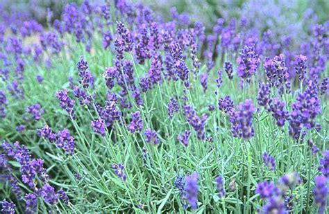 Best Plant For Mosquito Repellent by Planting Lavender In Calgary Area