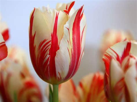 macam macam bunga tulip  manfaatnya alihamdan
