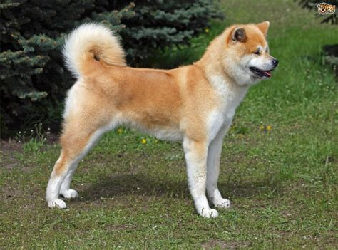 japanese akita japanese akita inu breed information buying advice photos and facts pets4homes