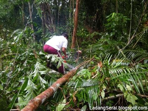 Benih Serai Peha Ayam ladang serai lemongrass farm malaysia tiang kayu