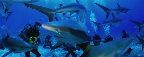 dive shark top 5 shark diving spots in asia best dive holidays