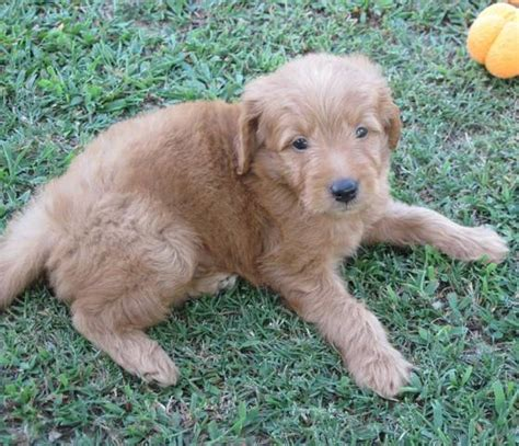 goldendoodle puppy for sale in arkansas mini goldendoodles available now for sale adoption from