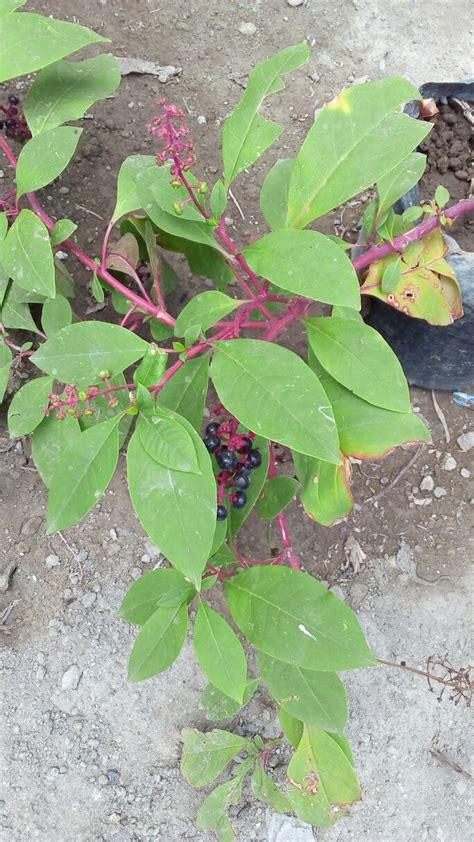 Jual Ginseng Merah bibit tanaman ginseng meerah korea anget anget