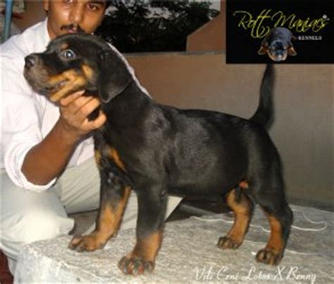 rottweiler in bangalore rottweiler pups out of import parents for sale bangalore free classified ads