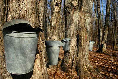 backyard maple syrup brojects how to get the most out of your cottage trees