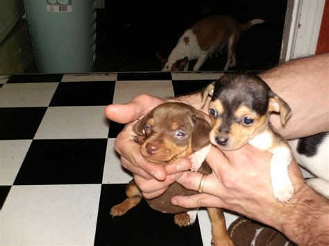 min pin chihuahua mix puppies for sale chihuahua miniature pinscher mix ready now