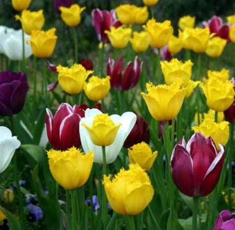 tulip flower tips to remember when planting tulip bulbs