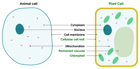 plant cell vs animal cell diagram animal cell structure and functions difference between
