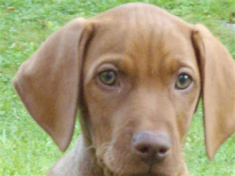 vizsla puppies for sale in pa vizsla pup for sale 800 posted 10 months ago for sale dogs breeds picture