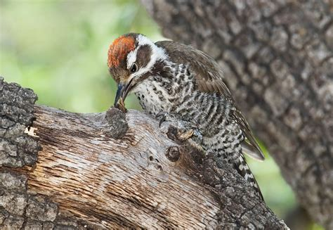arizona woodpecker audubon field guide