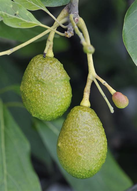 avocado tree not fruiting avocado hass another common tropical fruit from guatemala