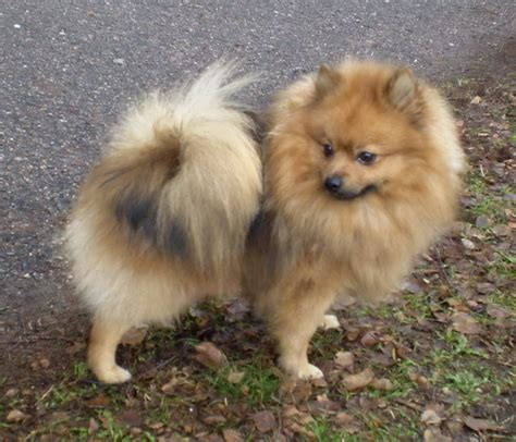 german pomeranian is my breed or mixed