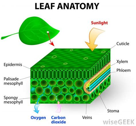 diagram of a leaf anatomy of a leaf diagrams diagram site