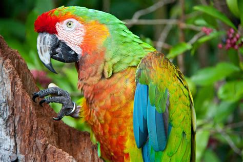 wallpapers macaw bird wallpapers macaw parrot hd wallpapers macaw pictures hd images hd