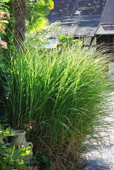 Pflanzen Garten by Miscanthus Sinensis Gracillimus Chinaschilf Gr 228 Ser