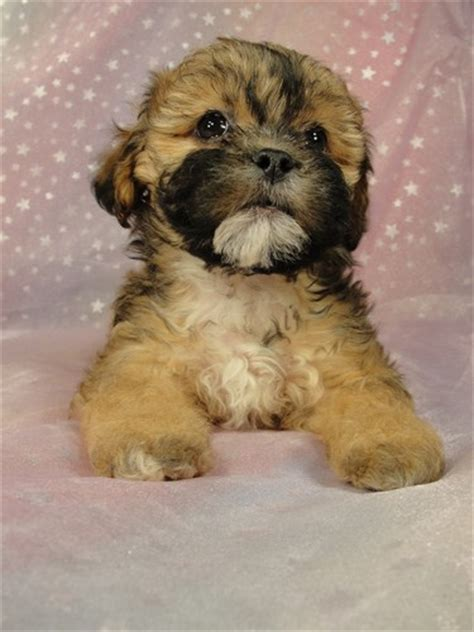 teddy puppies for sale in iowa teddy puppies for sale in iowa looking for quality teddy
