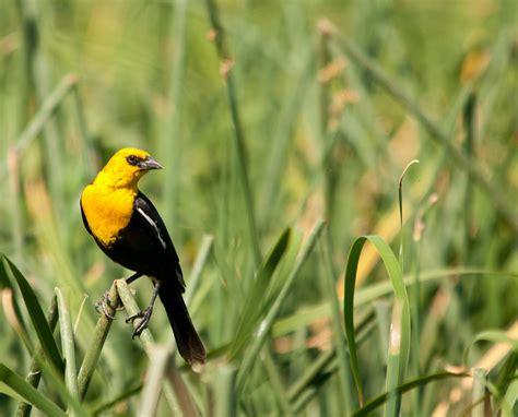 yellow head blackbird jpg photo lloyd prudhomme photos