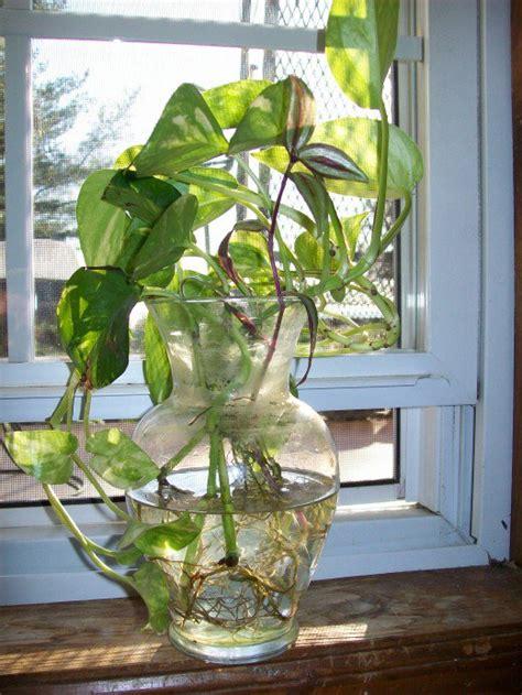 Water Vase Plants by How To Grow Pothos S In Water Dengarden