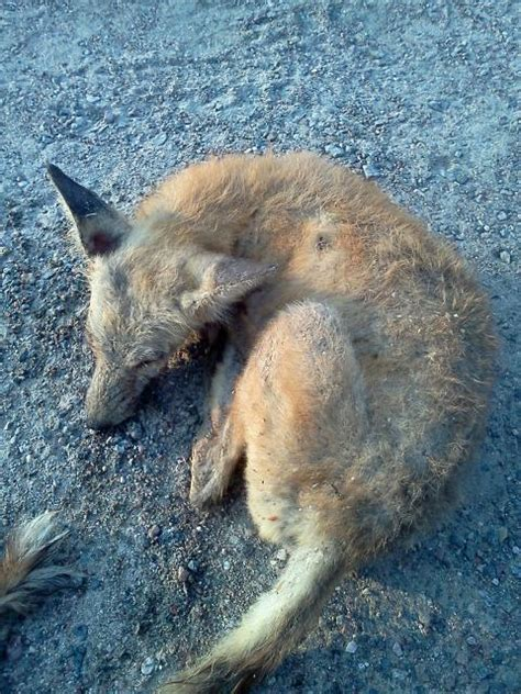 what does mange look like on a what does mange look like trapping only trapperman forums