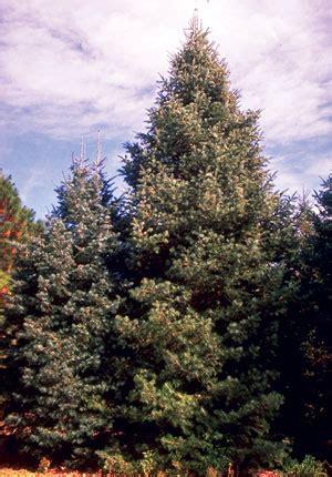 Douglas Fir Trees Svg Download Douglas Fir Trees Svg For