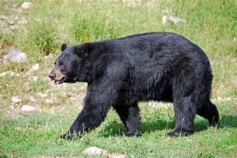 imagenes oso negro image gallery oso negro