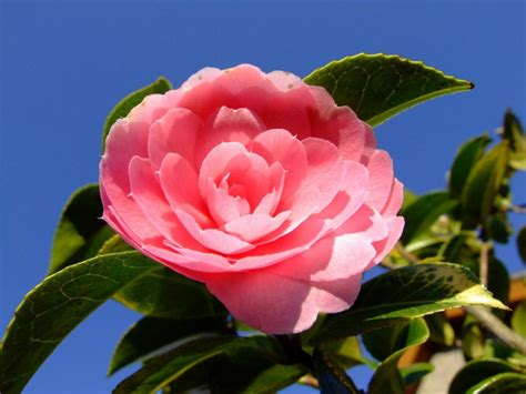 imagenes a flores fotos de camelias florpedia com